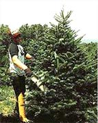 Mike Winslow shearing  a Balsam fir.